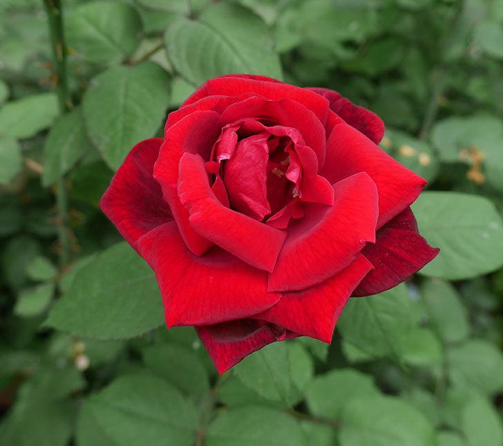 パパ・メイアン(木立バラ)の2番花がまた咲いた。2018年-1.jpg
