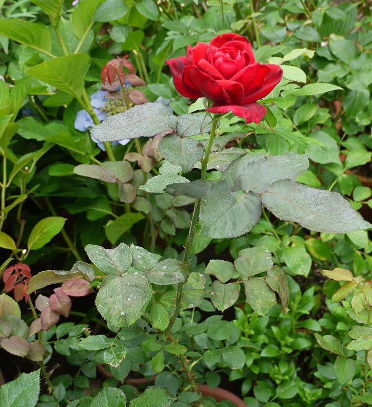 パパ・メイアン(木立バラ)の2番花が咲いた。2016年-3.jpg