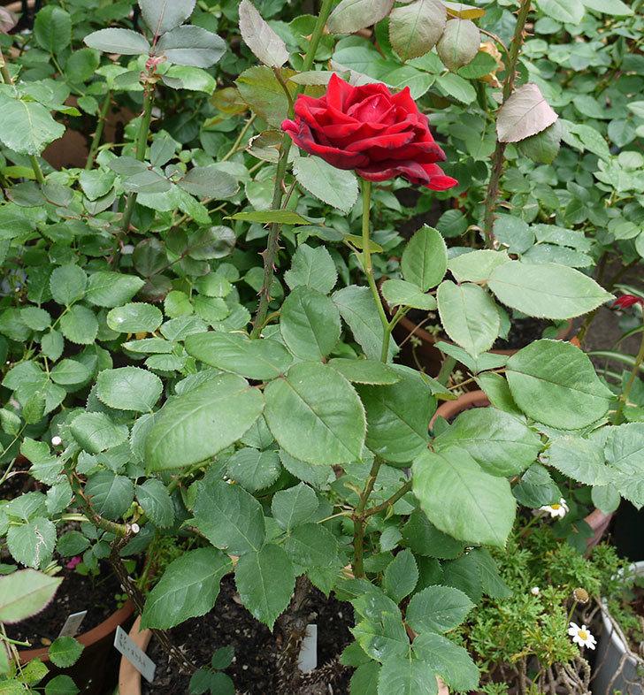 パパ・メイアン(木立バラ)の2番花が咲いた。2017年-4.jpg
