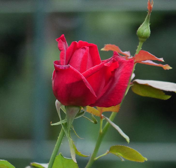 パパ・メイアン(木立バラ)の2番花が咲いた。2019年-8.jpg