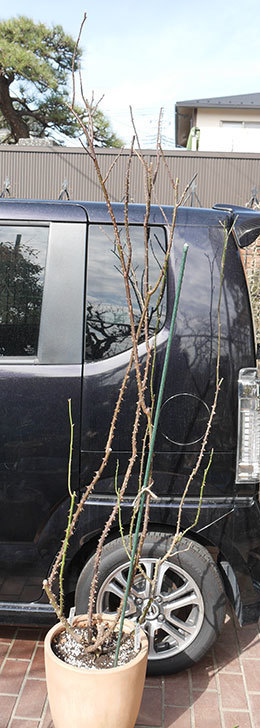 パパ・メイアン(木立バラ)の冬剪定をした。2019年-2.jpg