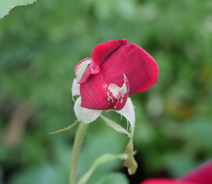 パパ・メイアン(木立バラ)の残っていた蕾が咲いた。2019年-4.jpg
