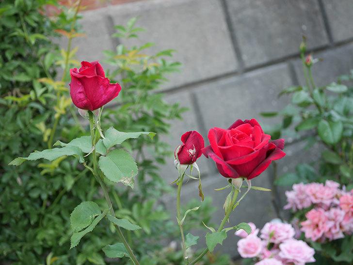 パパ・メイアン(木立バラ)の残っていた蕾が咲いた。2019年-6.jpg