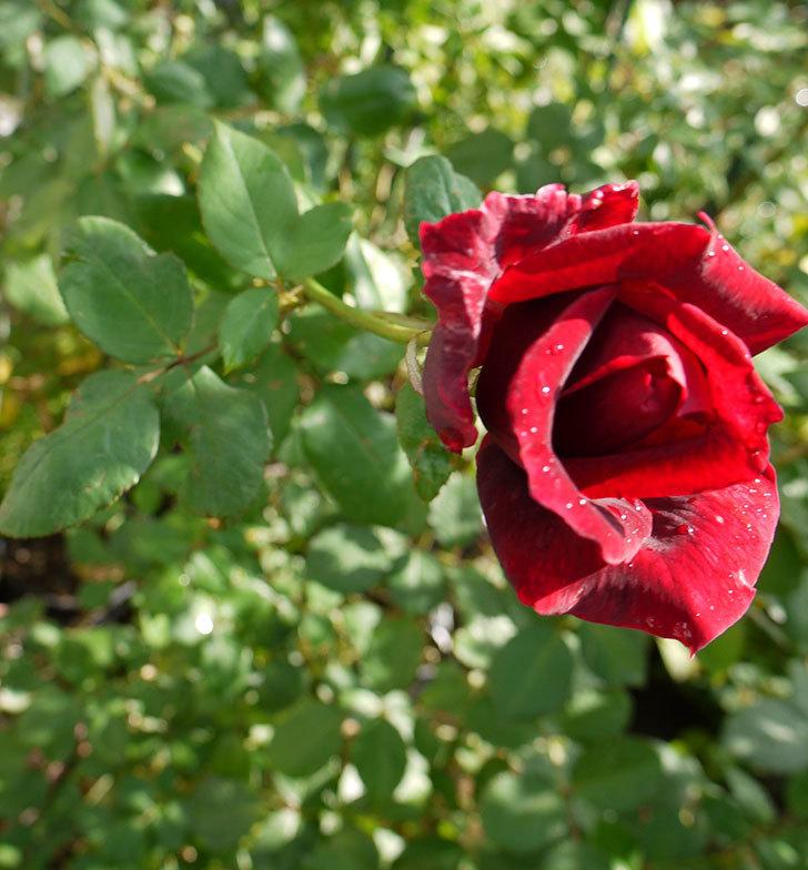 パパ・メイアン(木立バラ)の秋花が咲いた。2016年-3.jpg