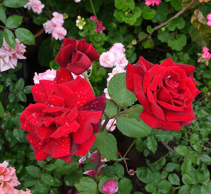 パパ・メイアン(木立バラ)の花が3個咲いた。2017年-1.jpg