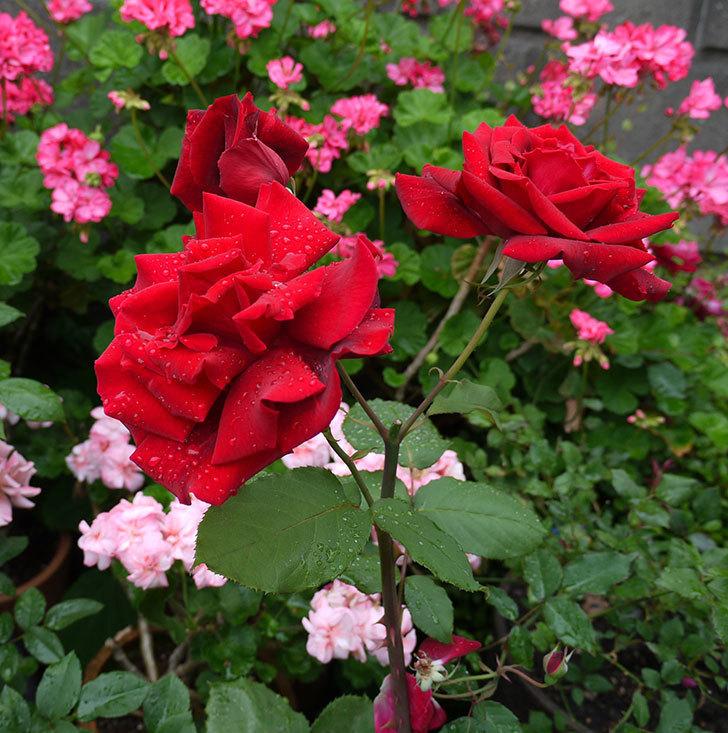 パパ・メイアン(木立バラ)の花が3個咲いた。2017年-2.jpg