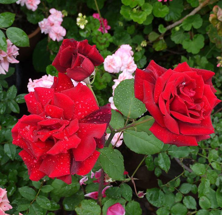 パパ・メイアン(木立バラ)の花が3個咲いた。2017年-6.jpg