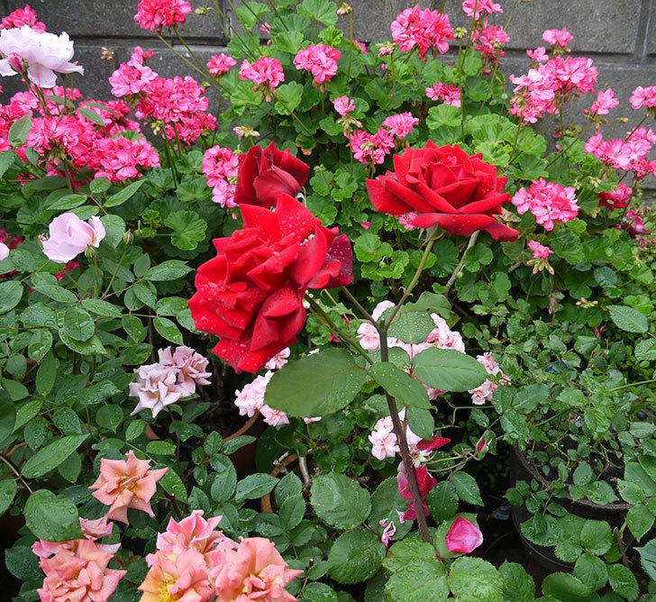 パパ・メイアン(木立バラ)の花が3個咲いた。2017年-7.jpg