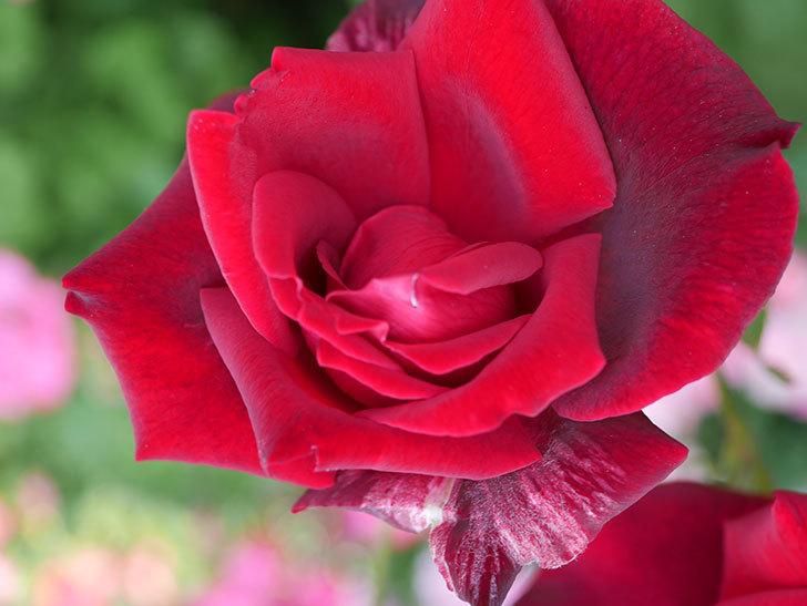 パパ・メイアン(木立バラ)の花が3個咲いた。2018年-10.jpg