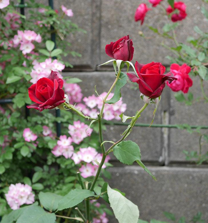 パパ・メイアン(木立バラ)の花が3個咲いた。2018年-2.jpg