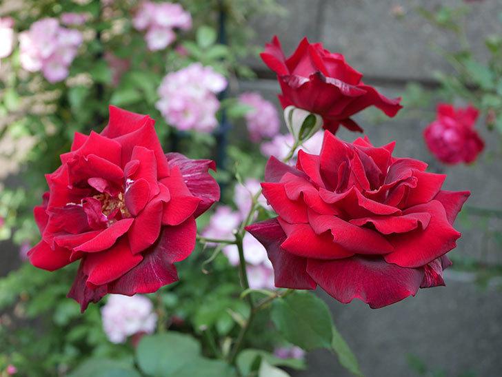 パパ・メイアン(木立バラ)の花が3個咲いた。2018年-7.jpg