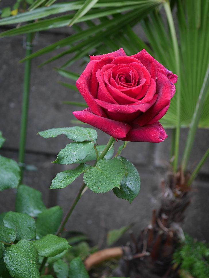 パパ・メイアン(木立バラ)の花が咲いた。2020年-10.jpg