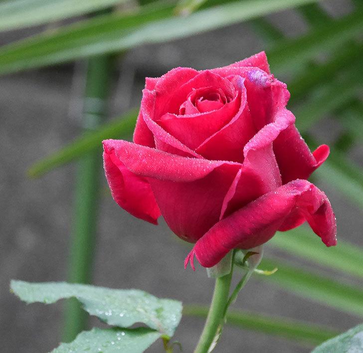 パパ・メイアン(木立バラ)の花が咲いた。2020年-2.jpg