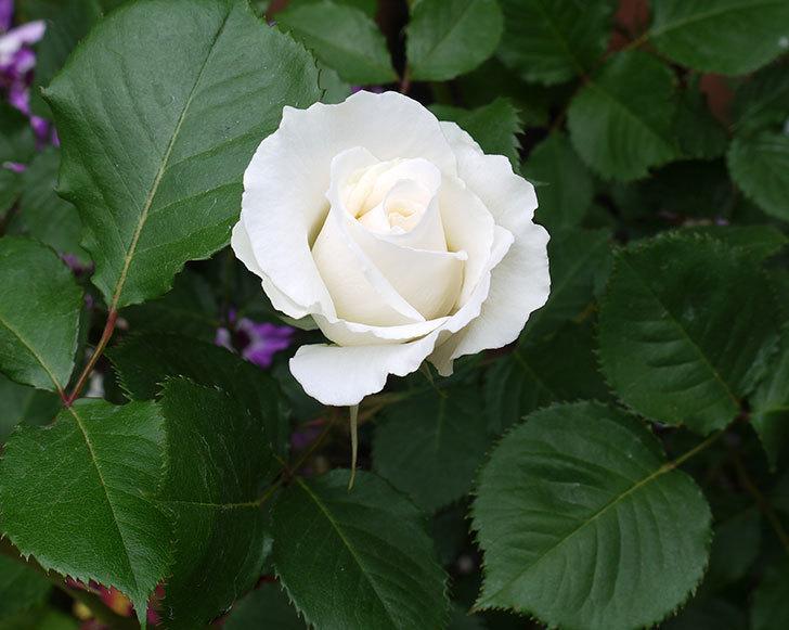 パパ・メイアン(木立バラ)の花が咲きだした。2017年-6.jpg