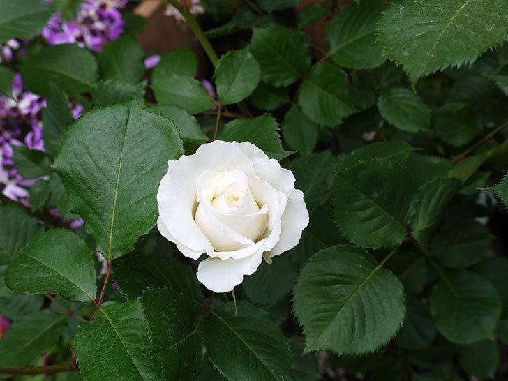 パパ・メイアン(木立バラ)の花が咲きだした。2017年-8.jpg