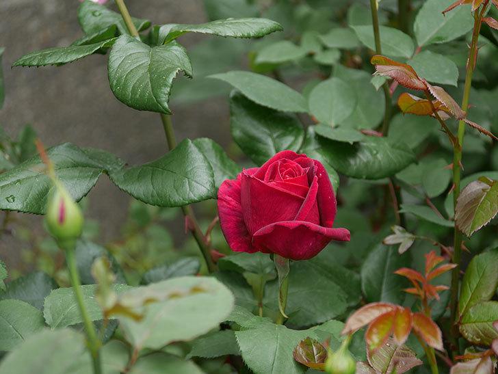 パパ・メイアン(木立バラ)の花が咲きだした。2019年-7.jpg