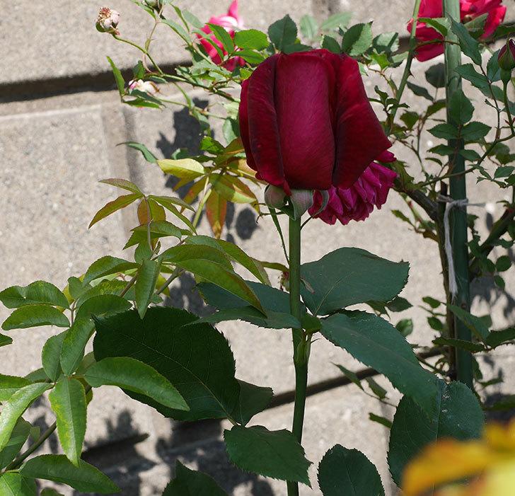 パパ・メイアン(木立バラ)の花が増えて来た。2019年-6.jpg
