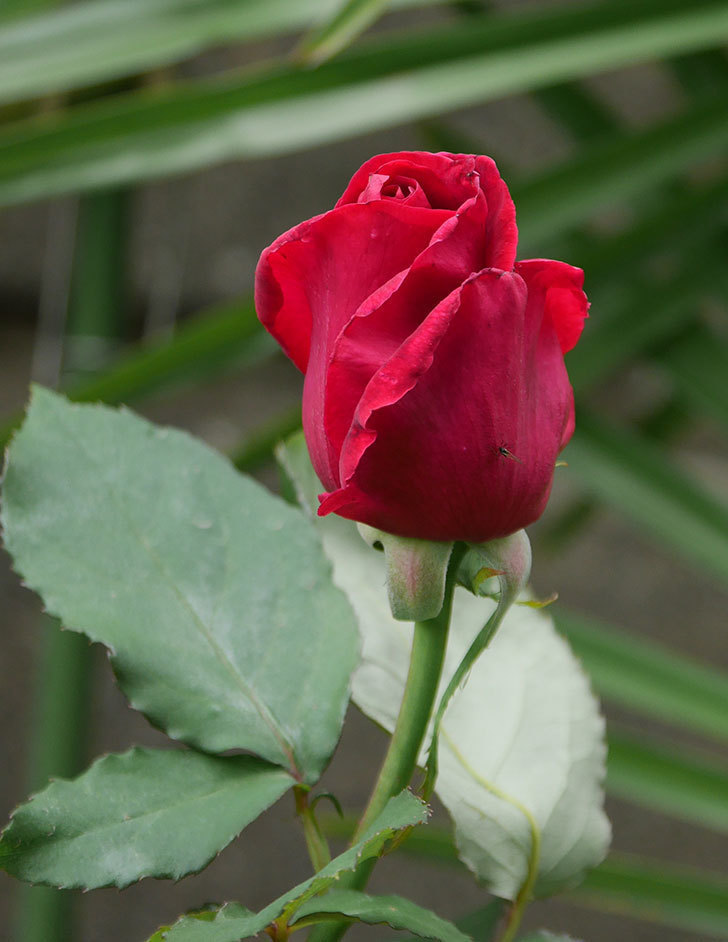パパ・メイアン(木立バラ)の花が開いて来た。2020年-4.jpg
