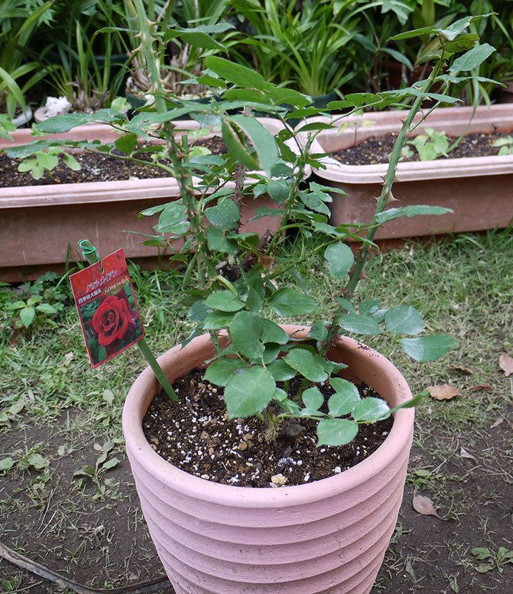 パパ・メイアン(木立バラ)の開花株をテラコッタ鉢に植えた。2016年-1.jpg