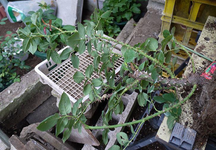 パパ・メイアン(木立バラ)の開花株をテラコッタ鉢に植えた。2016年-2.jpg
