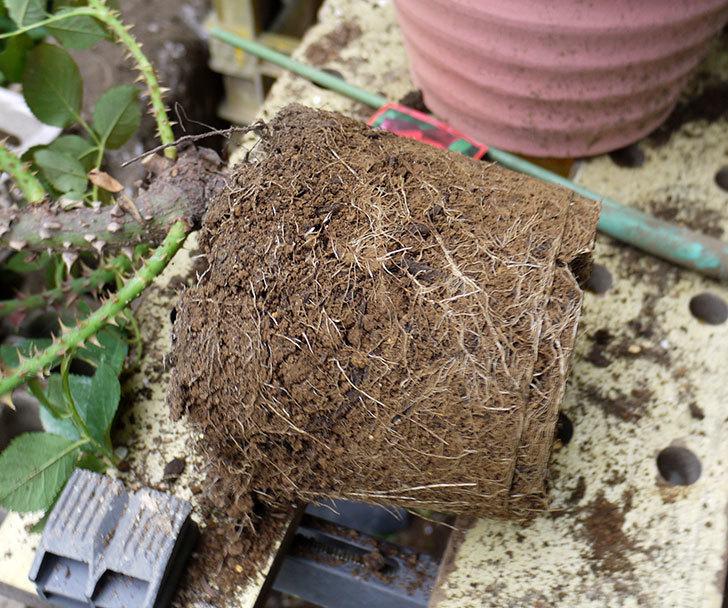 パパ・メイアン(木立バラ)の開花株をテラコッタ鉢に植えた。2016年-3.jpg