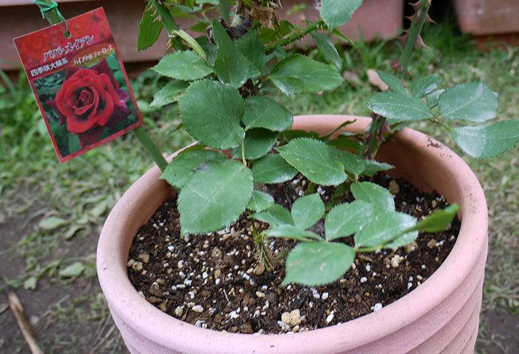 パパ・メイアン(木立バラ)の開花株をテラコッタ鉢に植えた。2016年-6.jpg