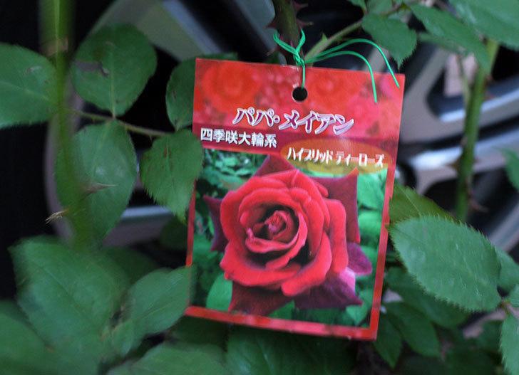 パパ・メイアン(木立バラ)の開花株買って来た。2016年-2.jpg