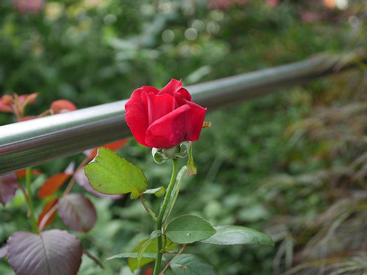 パパ・メイアン(Papa Meilland)の2番花がまた咲いた。木立バラ。2020年-001.jpg