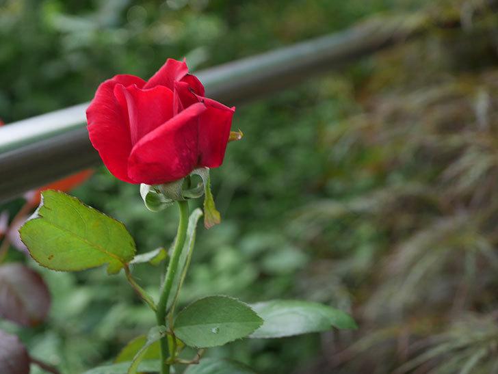 パパ・メイアン(Papa Meilland)の2番花がまた咲いた。木立バラ。2020年-002.jpg