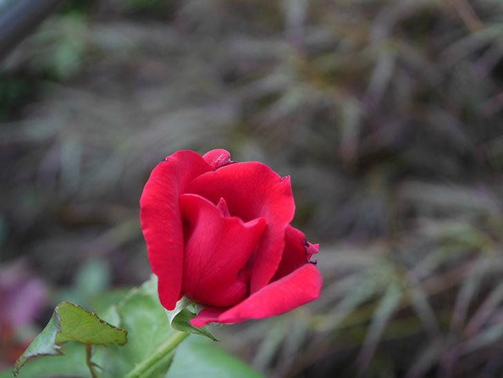 パパ・メイアン(Papa Meilland)の2番花がまた咲いた。木立バラ。2020年-003.jpg