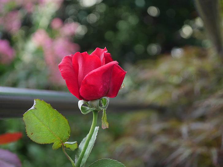 パパ・メイアン(Papa Meilland)の2番花がまた咲いた。木立バラ。2020年-007.jpg