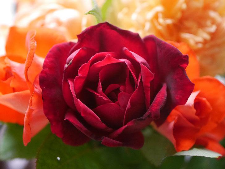 パパ・メイアン(Papa Meilland)の2番花が咲いた。木立バラ。2020年-006.jpg