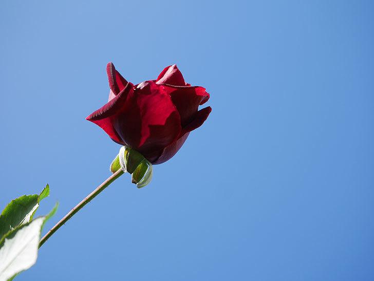 パパ・メイアン(Papa Meilland)の秋花が咲いた。木立バラ。2020年-001.jpg