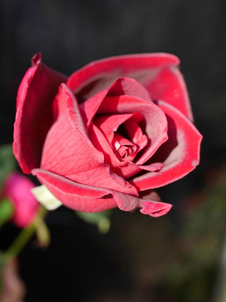 パパ・メイアン(Papa Meilland)の秋花が咲いた。木立バラ。2020年-009.jpg