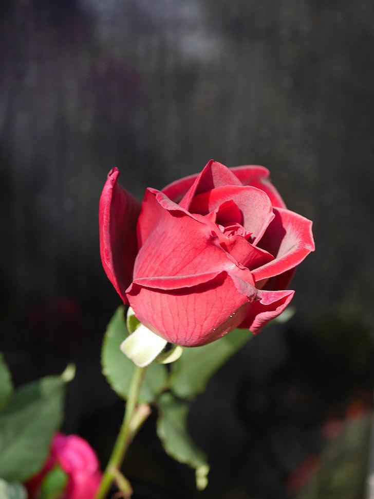 パパ・メイアン(Papa Meilland)の秋花が咲いた。木立バラ。2020年-010.jpg
