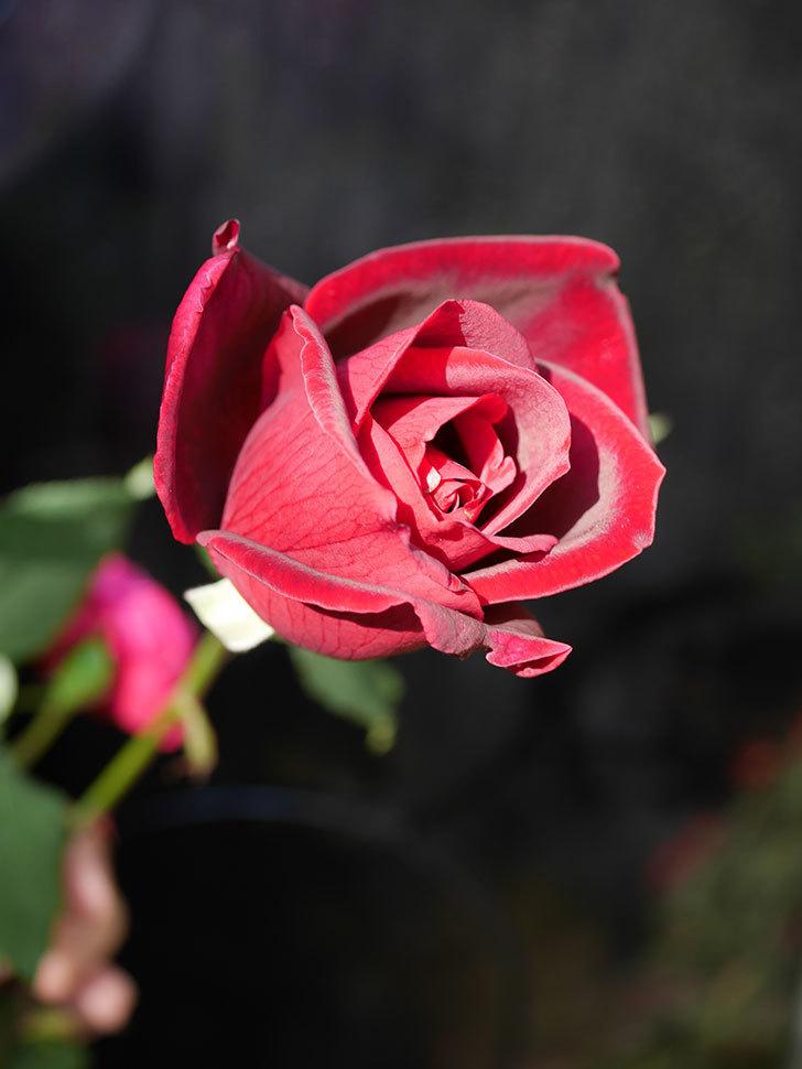 パパ・メイアン(Papa Meilland)の秋花が咲いた。木立バラ。2020年-011.jpg