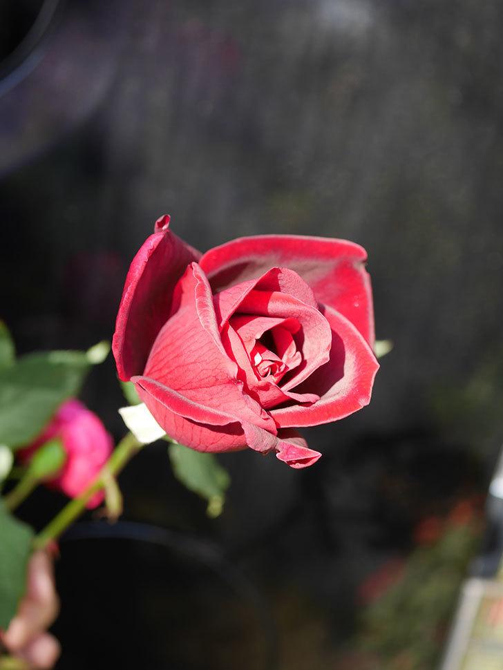 パパ・メイアン(Papa Meilland)の秋花が咲いた。木立バラ。2020年-012.jpg