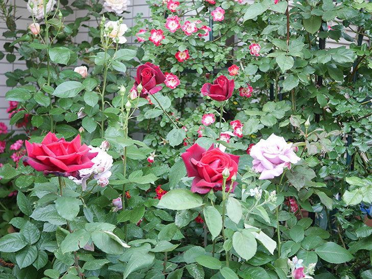 パパ・メイアン(Papa Meilland)の花がたくさん咲いた。木立バラ。2021年-020.jpg