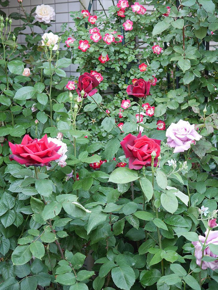 パパ・メイアン(Papa Meilland)の花がたくさん咲いた。木立バラ。2021年-023.jpg