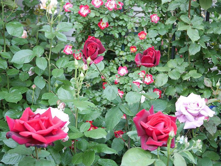 パパ・メイアン(Papa Meilland)の花がたくさん咲いた。木立バラ。2021年-024.jpg