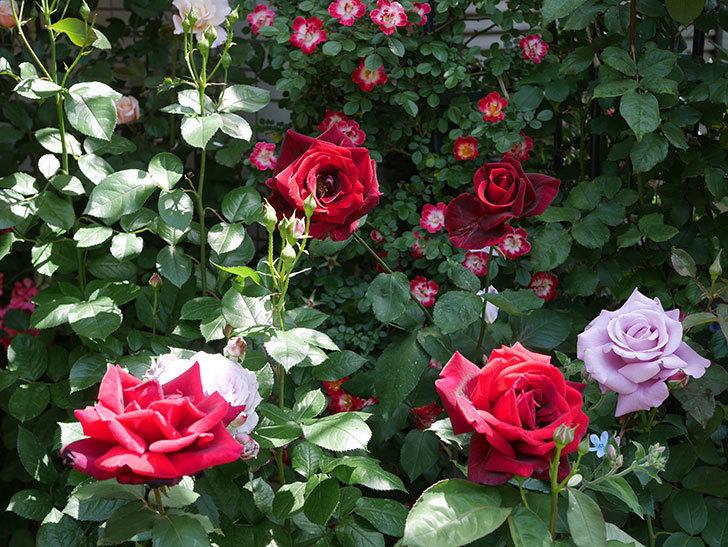 パパ・メイアン(Papa Meilland)の花がたくさん咲いた。木立バラ。2021年-028.jpg