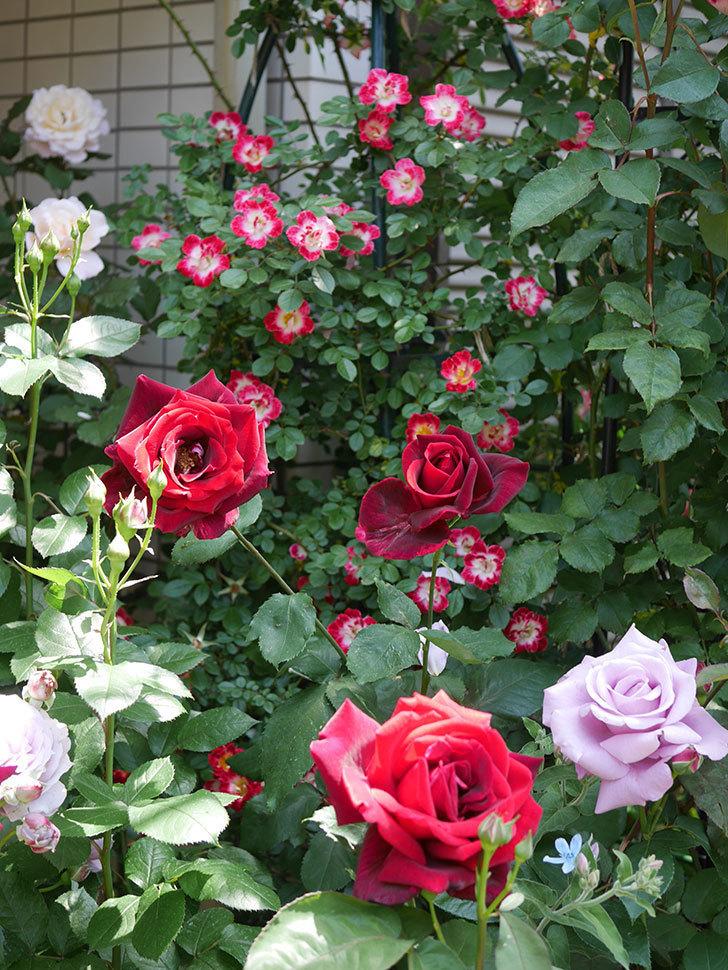 パパ・メイアン(Papa Meilland)の花がたくさん咲いた。木立バラ。2021年-029.jpg