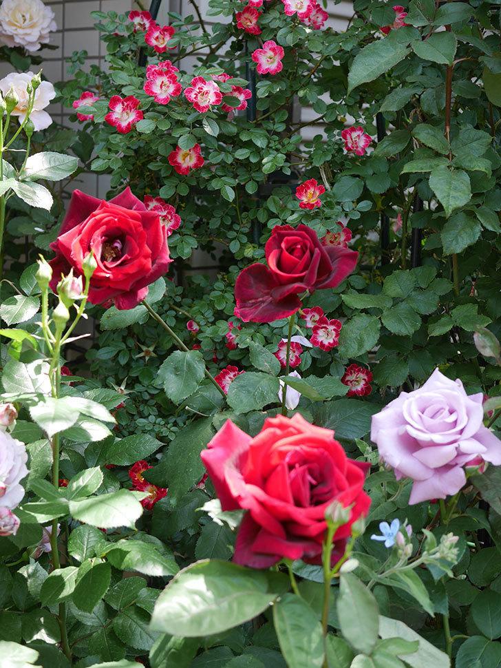 パパ・メイアン(Papa Meilland)の花がたくさん咲いた。木立バラ。2021年-030.jpg