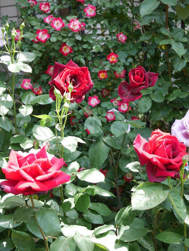 パパ・メイアン(Papa Meilland)の花がたくさん咲いた。木立バラ。2021年-031.jpg