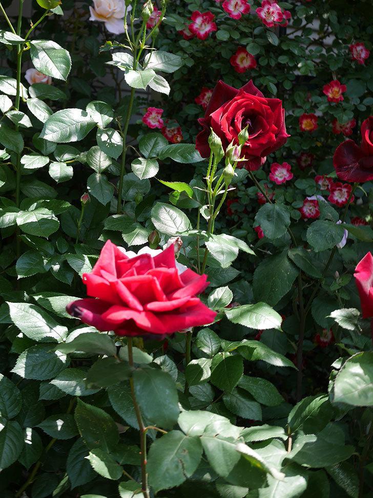 パパ・メイアン(Papa Meilland)の花がたくさん咲いた。木立バラ。2021年-032.jpg