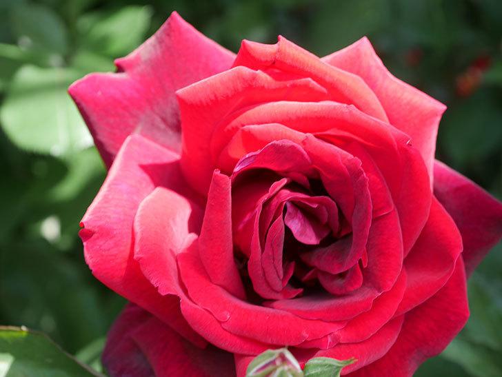 パパ・メイアン(Papa Meilland)の花がたくさん咲いた。木立バラ。2021年-034.jpg