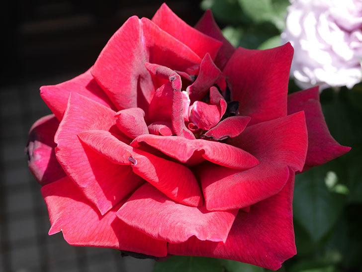 パパ・メイアン(Papa Meilland)の花がたくさん咲いた。木立バラ。2021年-036.jpg