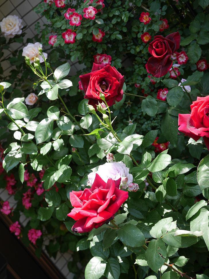パパ・メイアン(Papa Meilland)の花がたくさん咲いた。木立バラ。2021年-044.jpg