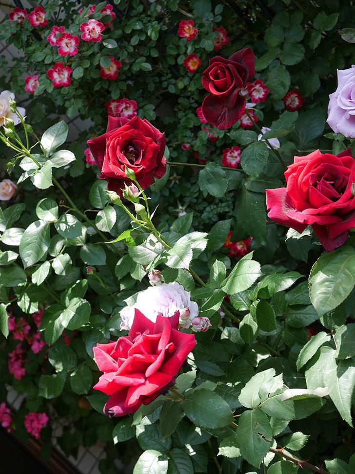 パパ・メイアン(Papa Meilland)の花がたくさん咲いた。木立バラ。2021年-045.jpg