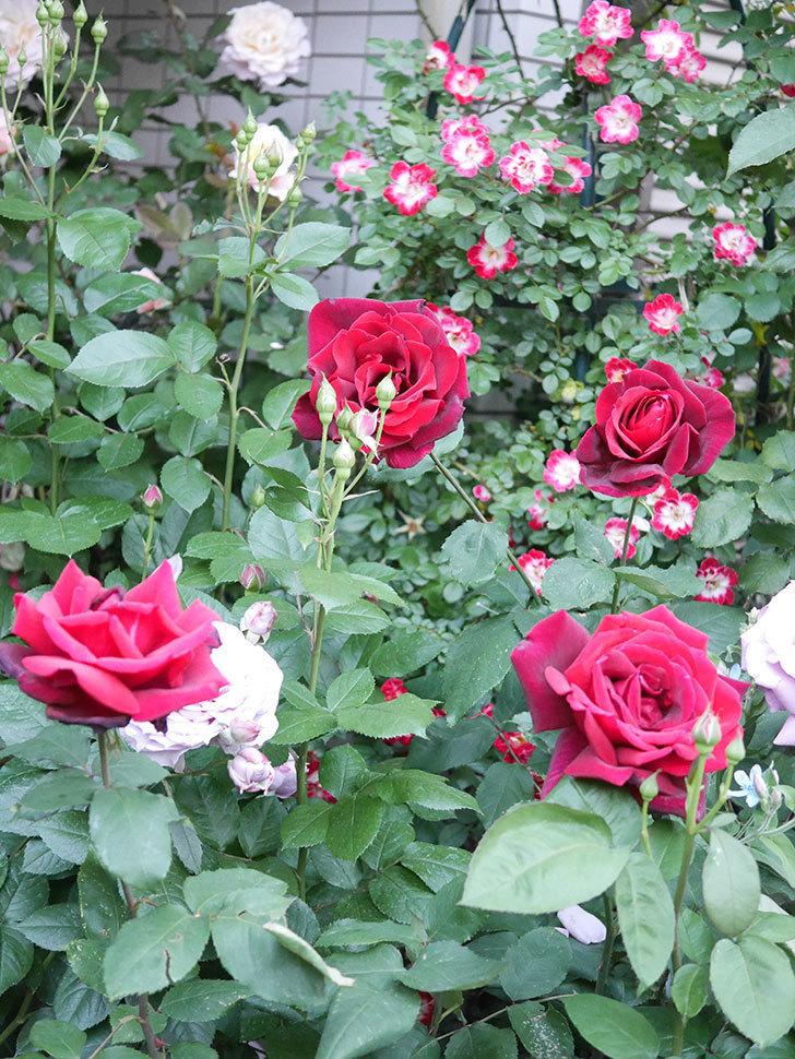 パパ・メイアン(Papa Meilland)の花がたくさん咲いた。木立バラ。2021年-047.jpg